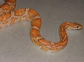Serpent élaphe