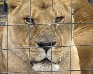 lion échappé en france