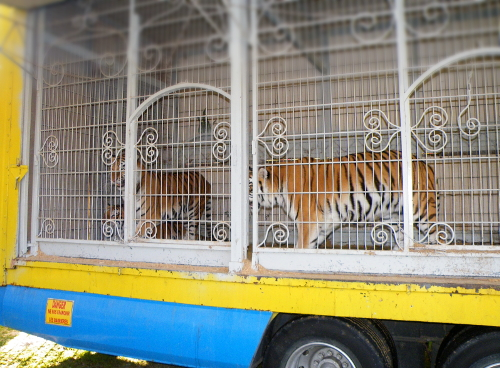Tigres La Piste d'or