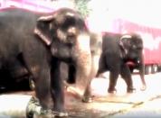 Les éléphantes du cirque Médrano